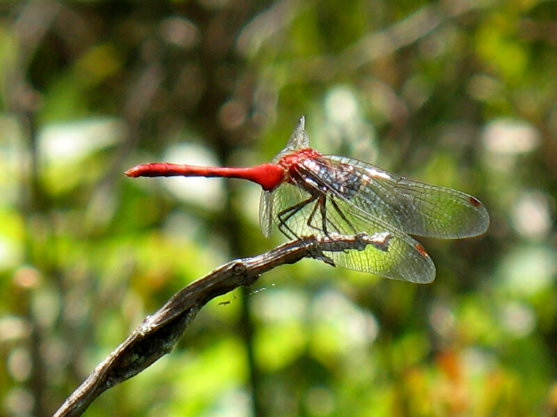 A Ruby Meadowhawk at Bear Swamp Preserve